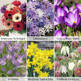 Picture of flowers that should grow from the bargain bulbs