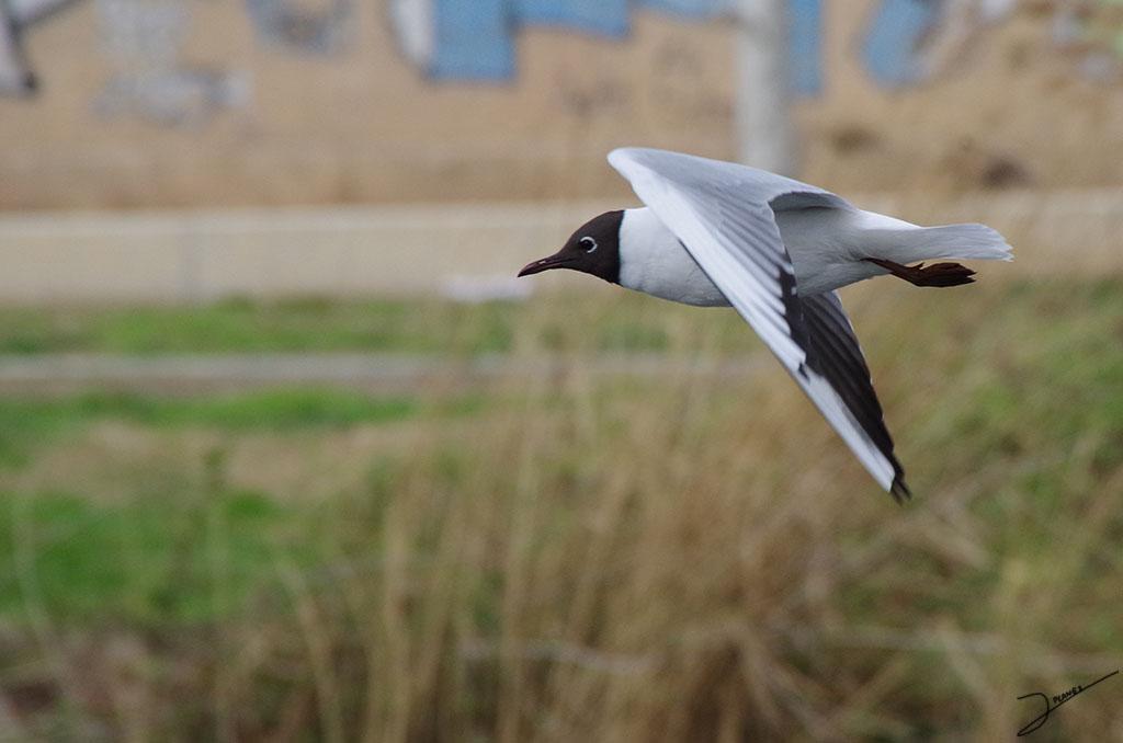 Gaviota reidora volando sobre el río Segre