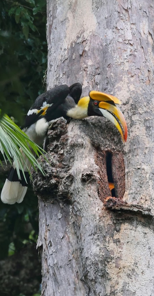 The Hornbill in a hollow tree as partner brings food.