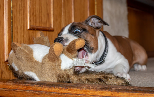 An action shot of Ruby playing with her cuddly toy