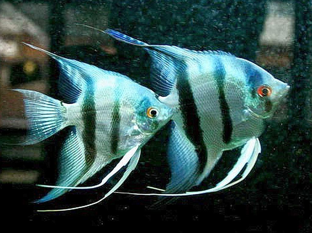 Profil Ikan Manfish