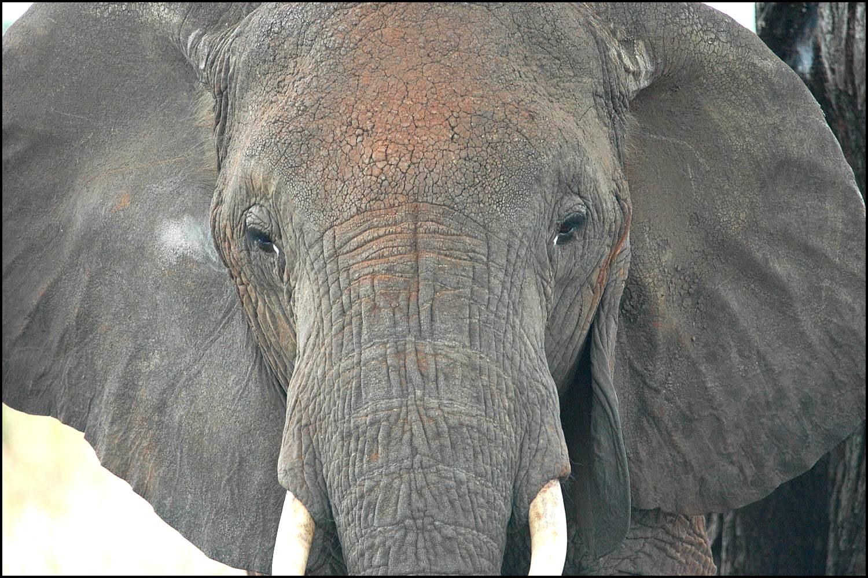 Encyclopedia Elephant Face