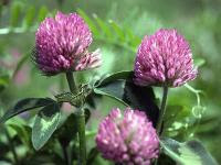 Red clover can be used to relieve depression.