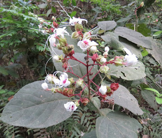 Clerodendrum infortunatum, Hill Glory Bower