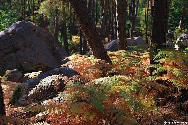 Du vert au jaune avant l'or, Prémices d'automne en Forêt de Fontainebleau