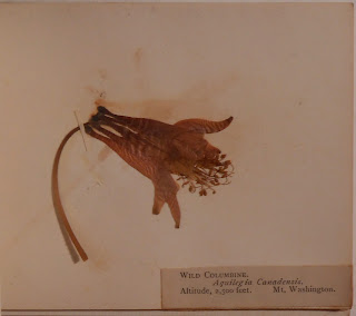 Specimen of wild columbine collection on Mt. Washington