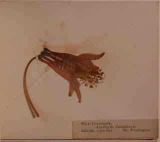 Specimen of wild columbine collection on Mt. Washington