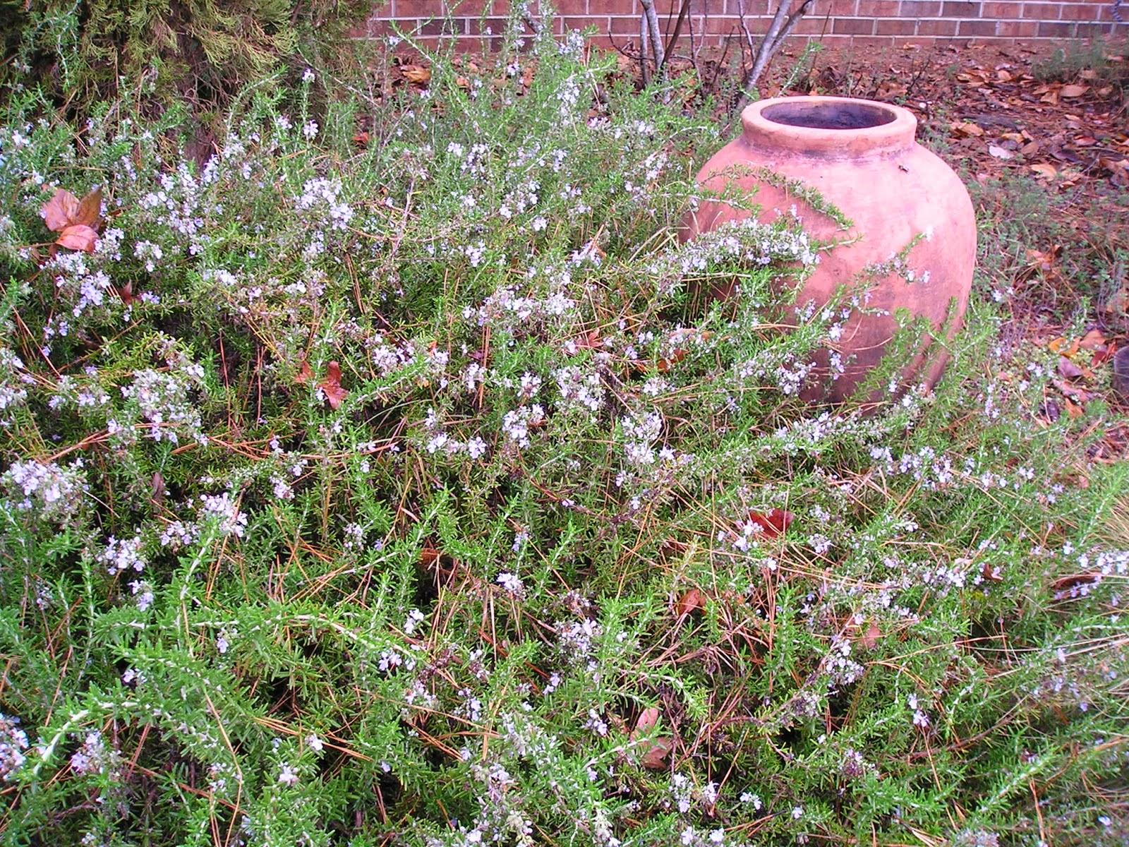 Carol S Garden: Carol's Greenville NC Garden: Rosmarinus Prostratus