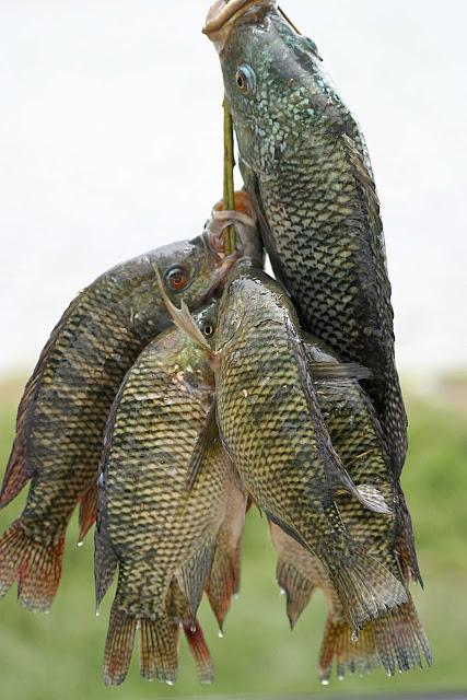 impacto ambiental acuacultura tilapia