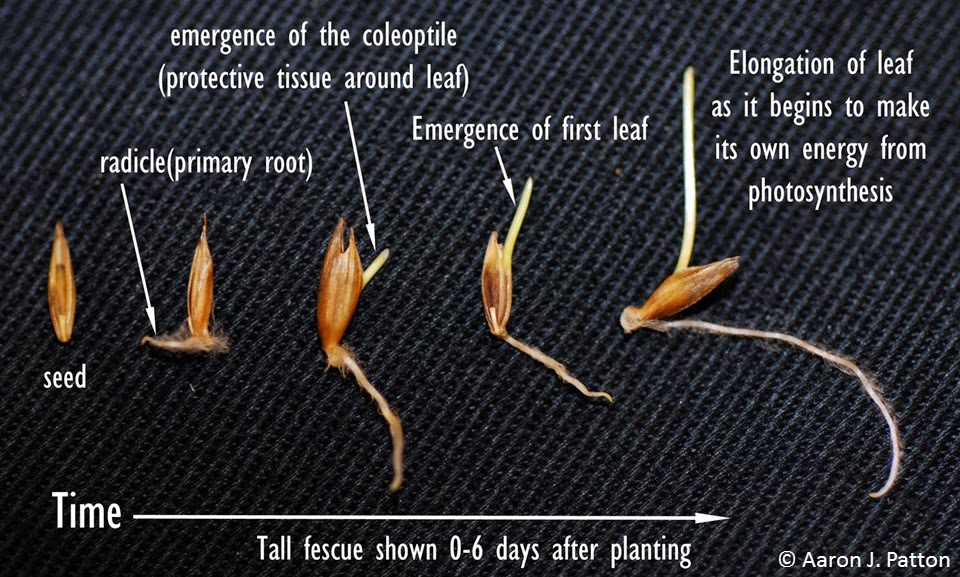 Pictured Left To Right In The Order Of Germination Process Are A Newly Planted Seed With Radicle Emerging Coleoptile