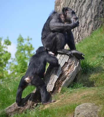 Chimps recognize rear ends, nutty evolutionists think this means human facial recognition evolved