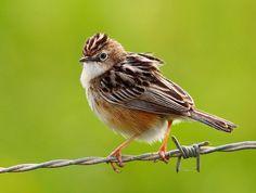 Burung Ciblek - Jenis Burung Ciblek Prinia Cinereocapilla - Penangkaran Burung Ciblek