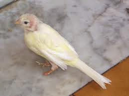 burung kenari botak