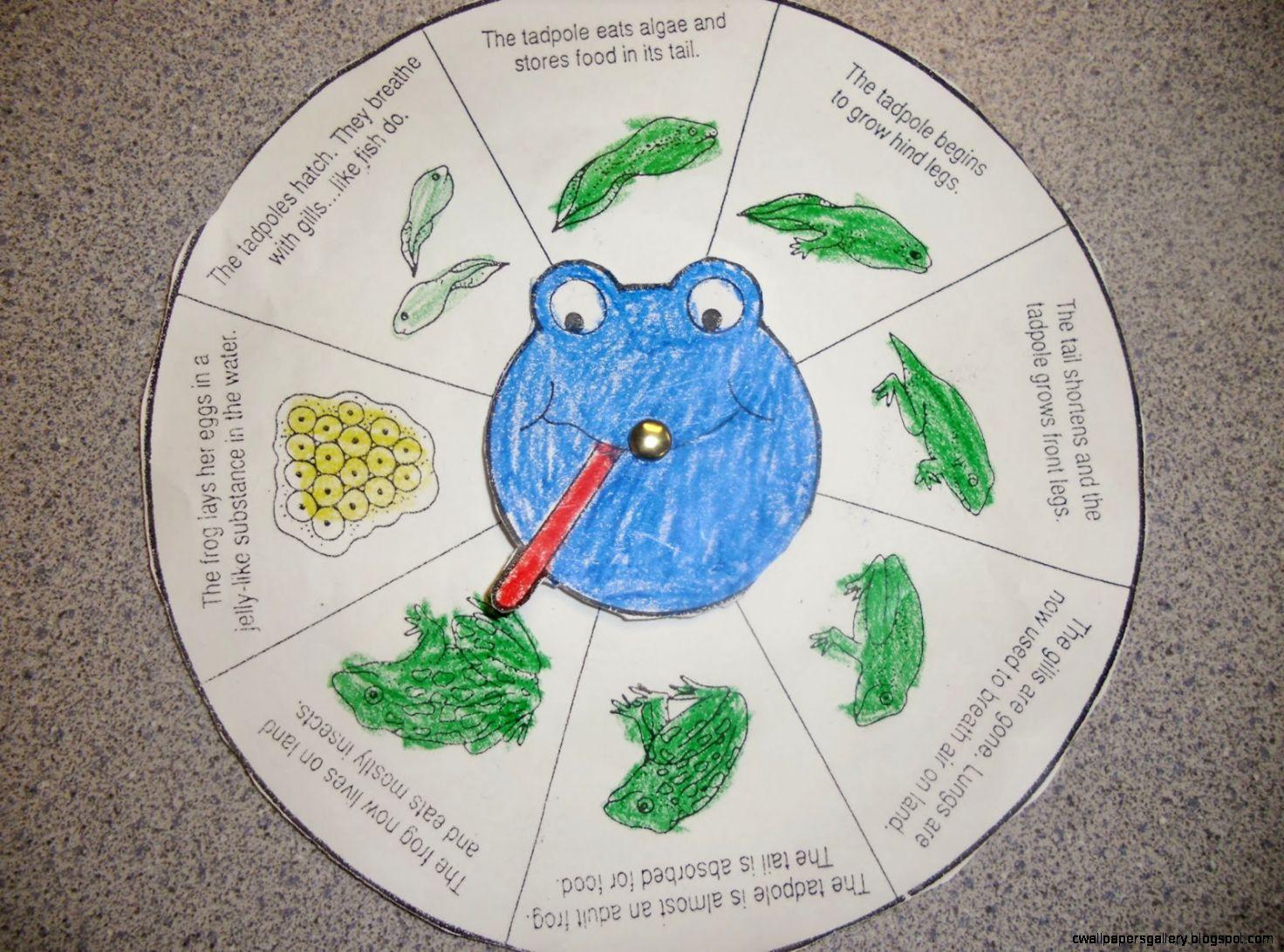 Amphibians Life Cycle