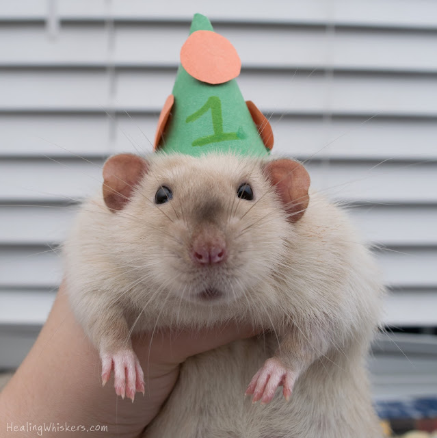 Jasper wearing a party hat