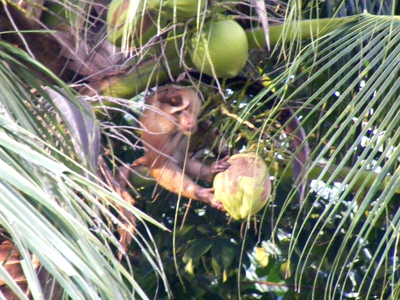 обезьяна бросает кокос на землю