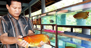 cara budidaya ikan arwana silver,cara budidaya ikan arwana di kolam,cara budidaya ikan arwana di akuarium,cara budidaya ikan arwana super red,cara budidaya ikan arwana di aquarium,
