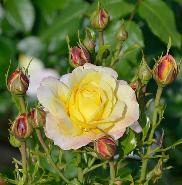Rose der Hoffnung сорт розы фото