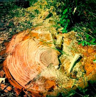 Uno de los muchos árboles que están siendo  cortados. Los árboles en las zonas urbanas  regulan las temperaturas y hacen subir el  valor de las propiedades. Una vivienda que  posee árboles tiene más valor en el mercado.