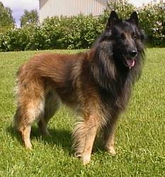 Tervuren dog-dogs-pets-dog breeds