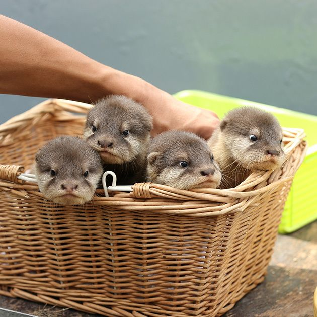 Make Your Dream of Swimming with child Otters Come proper - individuals Pets (blog)