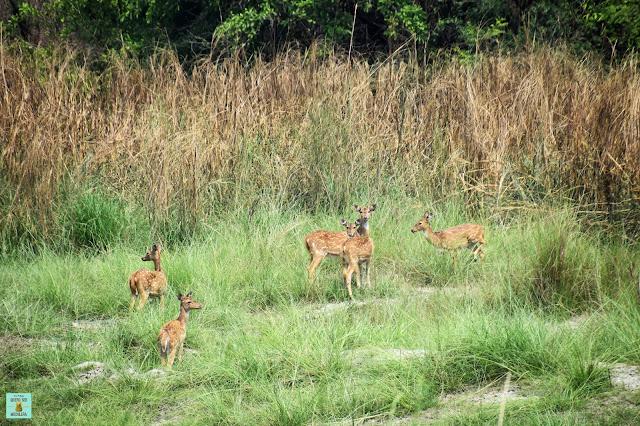 Ciervos moteados en Parque Nacional de Bardia, Nepal