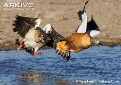 interaciotns between goose and shelduck