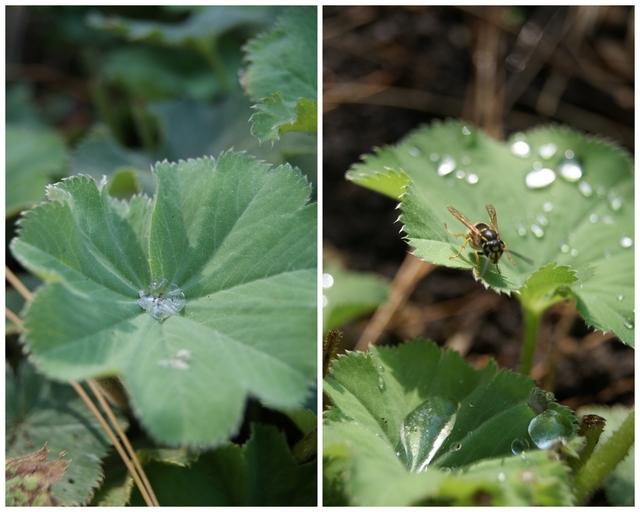 Frauenmantelblätter mit Wassertropfen und Wespe