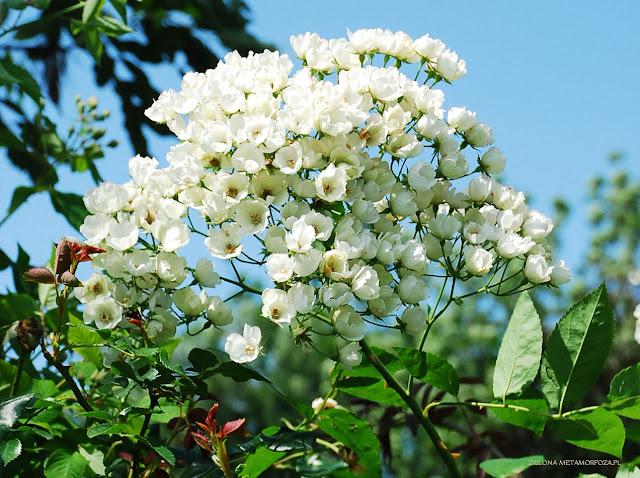 Rosa filipes / róża cienkoszypułkowa