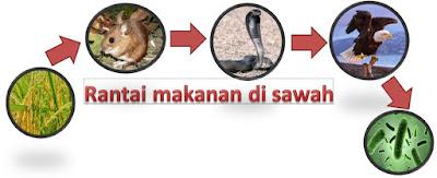 contoh rantai makanan di sawah