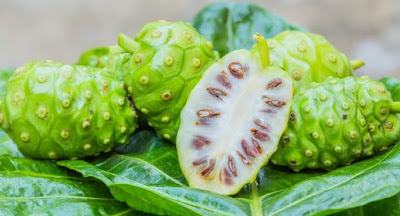 Noni a fruta proibida no Brasil