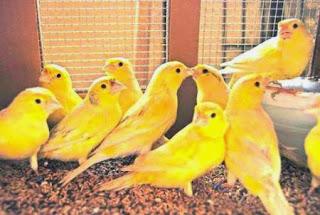 Bisnis Ternak Burung Kenari : Menjanjikan!!