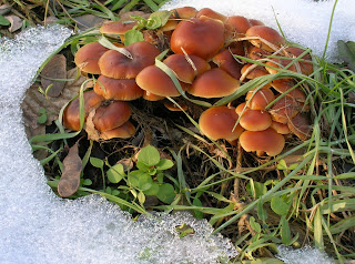 3^ Classificata - Flammulina velutipes