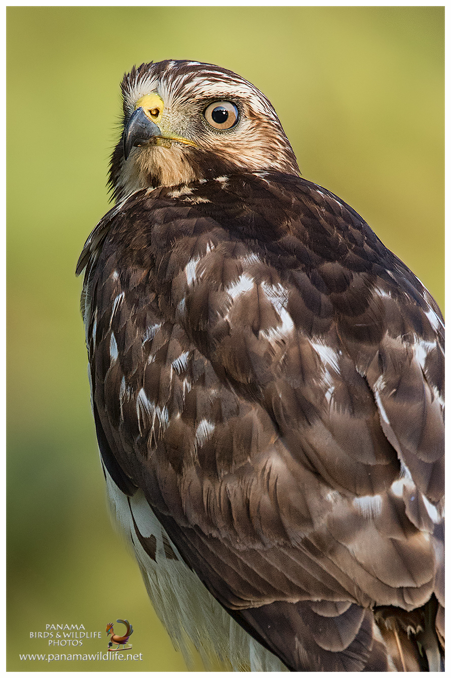 Panama Birds & Wildlife Photos' Blog: May 2016