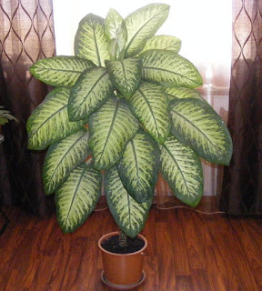 Dieffenbachia floare decorativa de apartament,