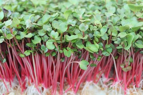 Rau mầm củ cải đỏ - HB nơi cung cấp rau mầm uy tín