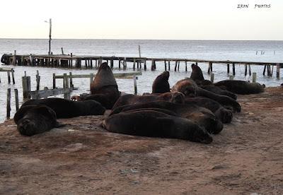 Lobos marinho na vila da 4a seccão da barra