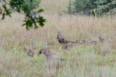 hen turkeys with poults