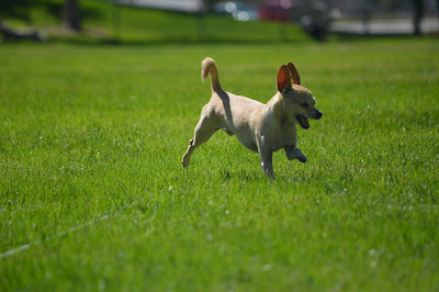 lure coursing fun run