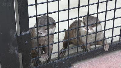 東武動物公園のコツメカワウソのふうとまっちゃ