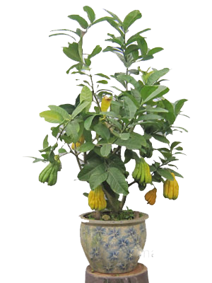 Cây phật thủ tạo dáng bonsai