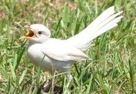 Mockingbird | A-Z List of 125 Rare Albino Animals [Pics]