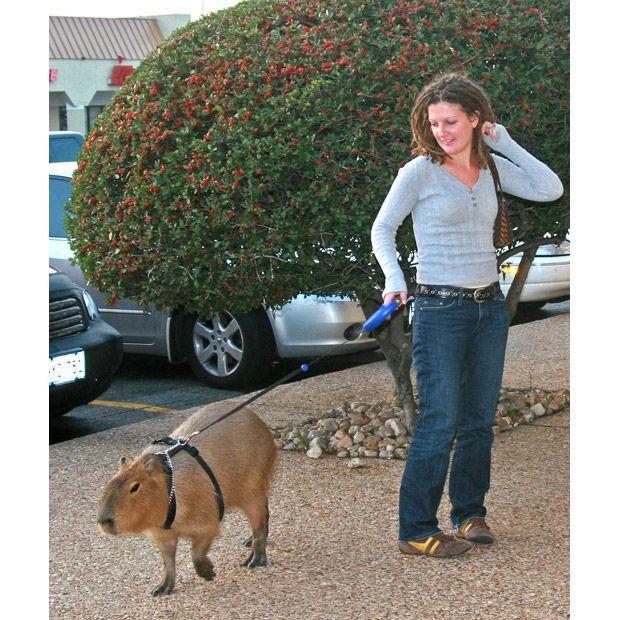 Capybara Pet And Cat