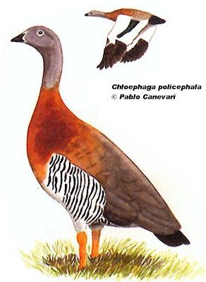 Cauquén real Chloephaga poliocephala