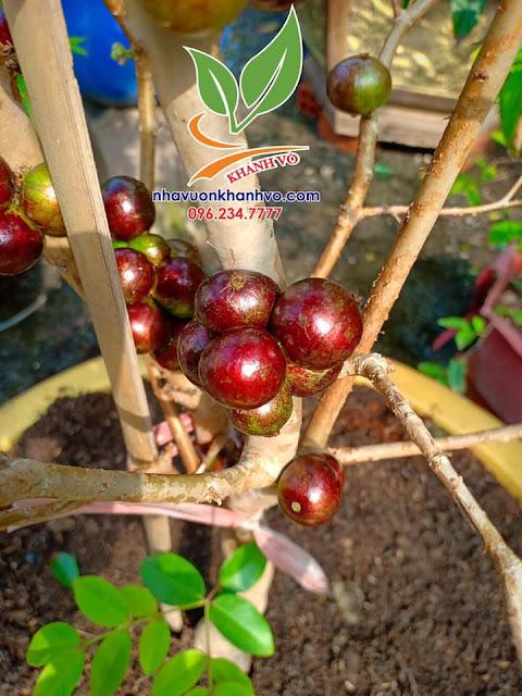 Cây nho thân gỗ cây ăn quả độc đáo - Quả có nhiều dinh dưỡng
