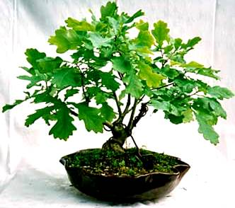 Foto de un roble bonsai color verde