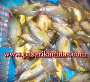 Cara Budidaya Ikan Papuyu Di Kolam Terpal
