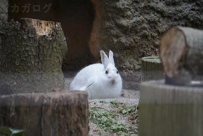 冬毛のトウホクノウサギ