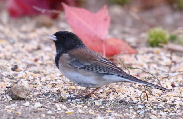 Male Oregon Junco