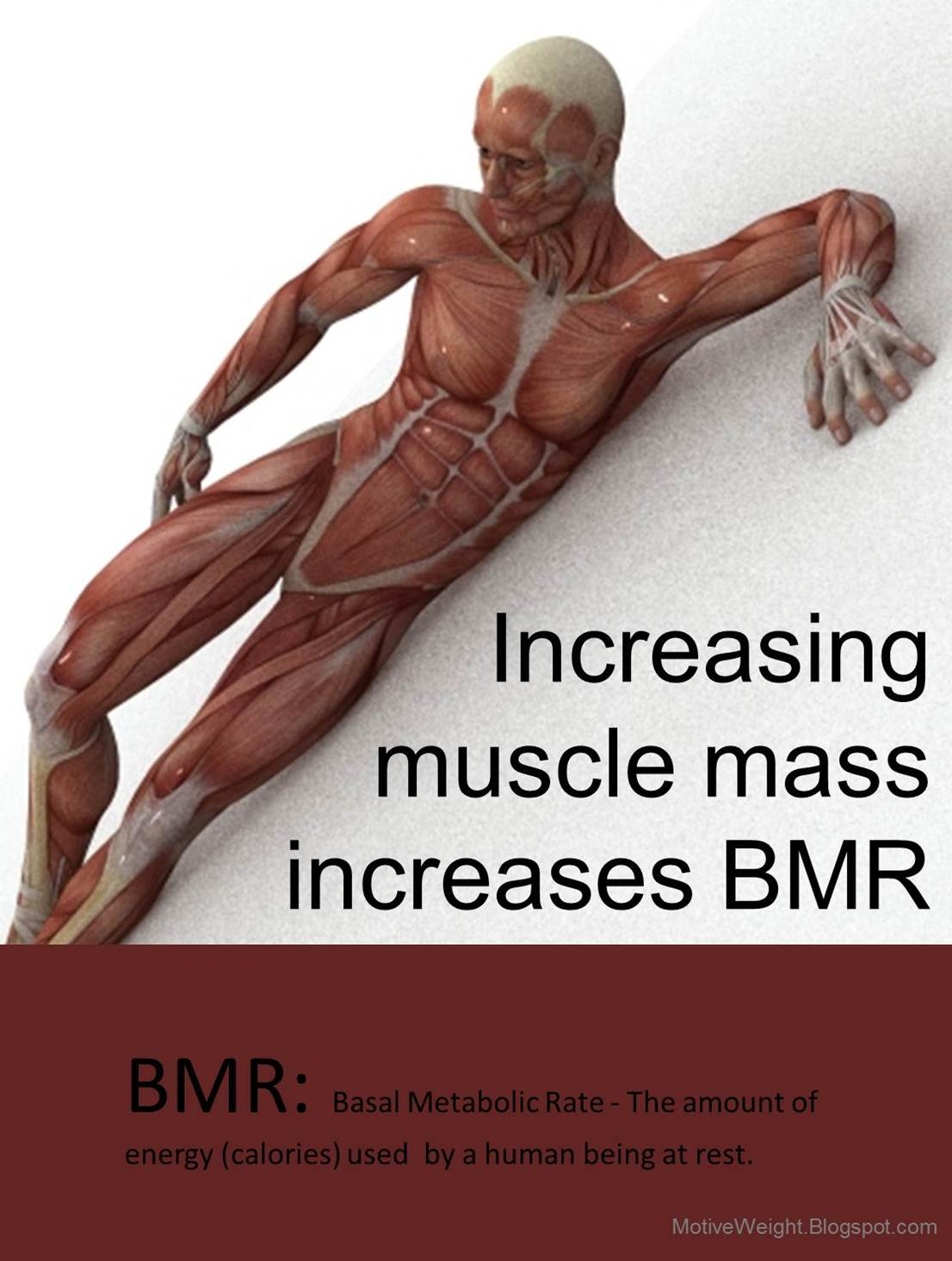 Motiveweight Increasing Muscle Mass Increases Bmr